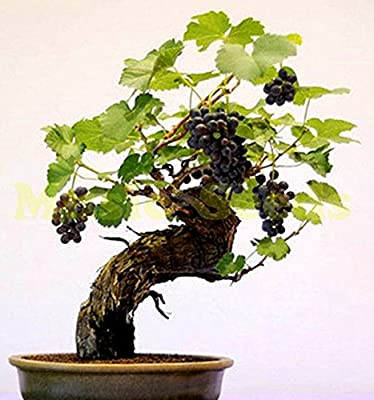 1bag=50pcs CHINESE GRAPE seeds GIANT purple SWEET FRUITS tree seeds plant potted bonsai decoration home & garden