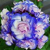 5 PCS -Rare 'Night Blue' Geranium Seeds Appleblossom Rosebud Pelargonium Perennial Garden Flower Seeds Potted Plant