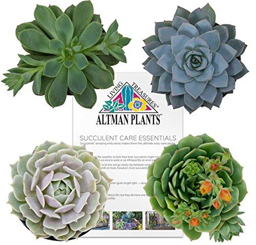 Echeveria Succulent Plant - Altman Plants Succulents Flowering Collection 2.5