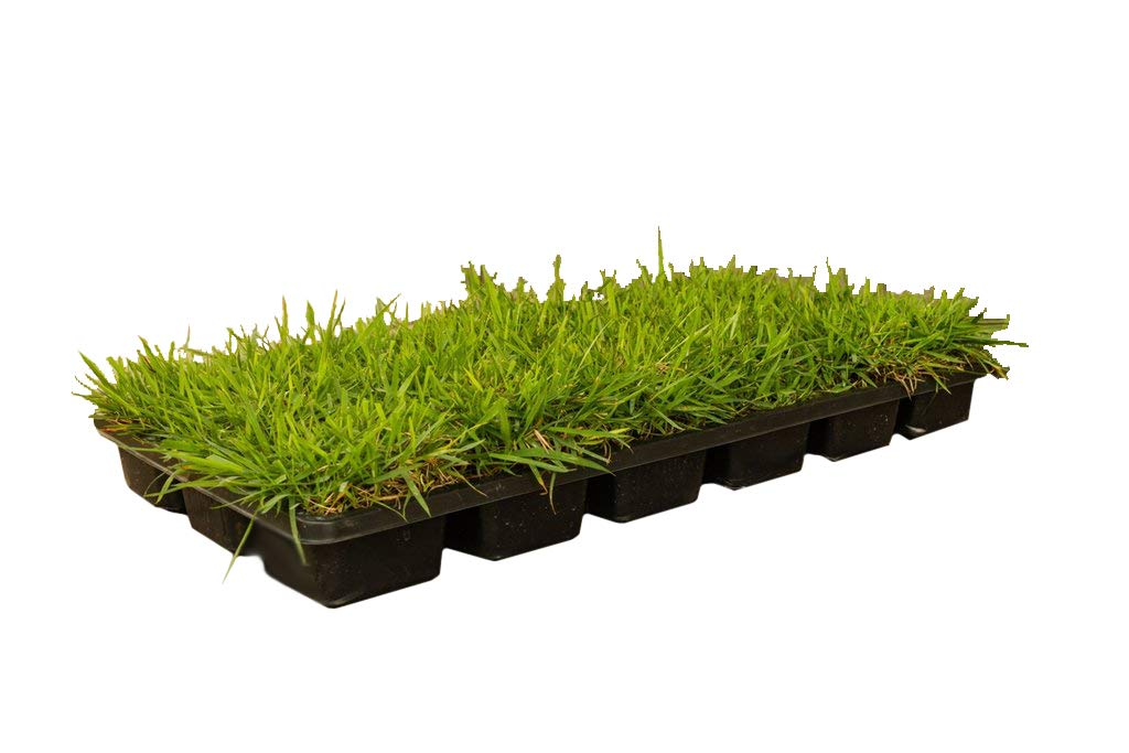 Zoysia Sod Plugs 18 Count Tray Salt /& Shade Tolerant Turf Grass Drought Large 3 x 3 Plugs