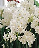 12 Large Ziva Paperwhite Daffodil Flower Bulbs