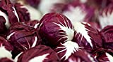 Radicchio (Chicory) Seeds- Verona Red- 500+ Seeds by Ohio Heirloom Seeds