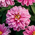 Park Seed Zahara Double Raspberry Ripple Zinnia Seeds