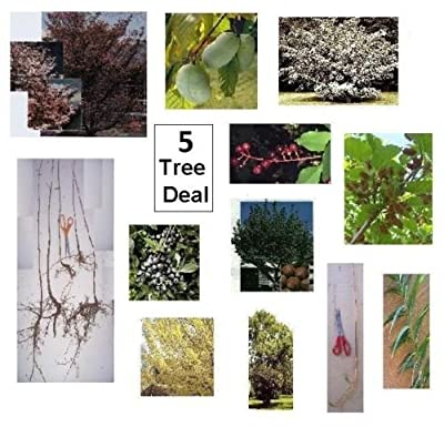5 Shade Trees for $10 - Fast Growing - Ohio Buckeye, Sycamore, Oak, Ash, Maple