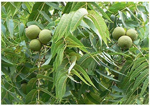 3 Sent in 9cm pots Juglans nigra Black Walnut Tree