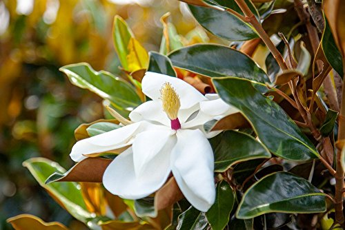 Bracken's Brown Beauty Magnolia (4-5 feet) Live Plant, Includes Special Blend Fertilizer and Planting Guide - Fragrant White Flowers - Compact Accent Tree by PERFECT PLANTS (Image #3)