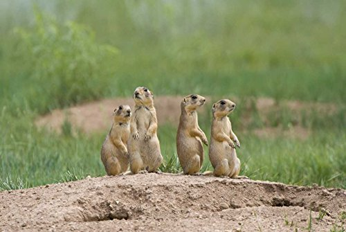 UT, Bryce Canyon Utah prairie dogs by den by Dave Welling - 6