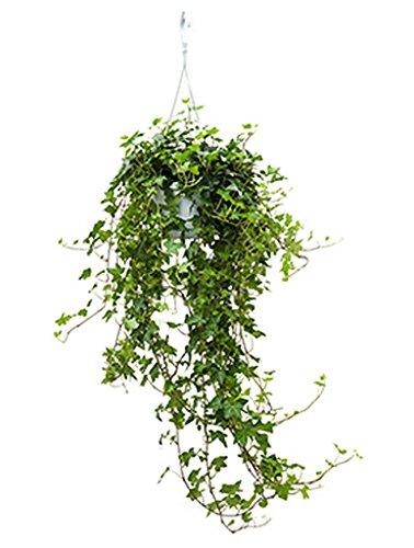 Efeu Zimmerpflanze efeu pittsburgh 60 80 cm im 17 cm topf hängende zimmerpflanze für