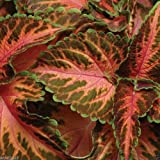 Coleus Wizard 30 seeds,Coral Sunrise - Very Showy,Easy To Grow