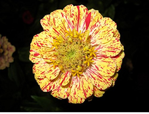 150 Candy Stripe Zinnia Mix Elegans Flower Seeds Mixed Colors with Red ()
