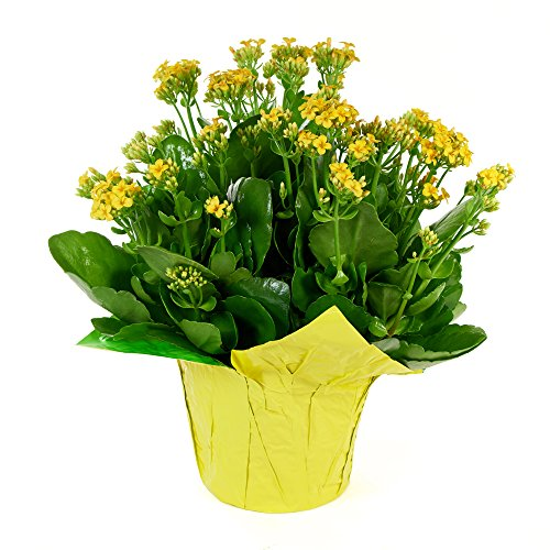 KaBloom Live Plant Collection: 15'' Yellow Kalanchoe Plant in a Yellow Covered Pot (Flowering Plants Indoor)
