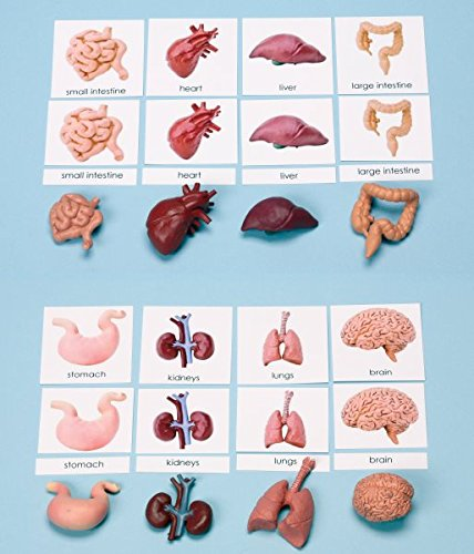 The 8 best human organs with pictures