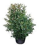 PlantVine Eugenia myrtifolia, Syzygium paniculatum, Brush Cherry - Large - 8-10 Inch Pot (3 Gallon), Live Plant