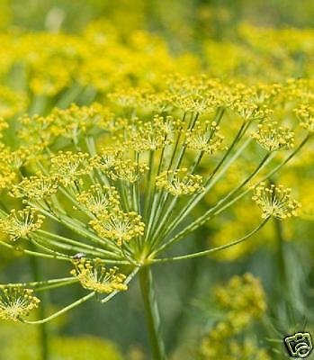 fennel-bulb-foeniculum-vulgare-florence-repels-aphids-herb-50-seed