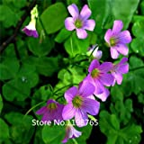 2015 Hot 500 Seed Red Wood Sorrel Seeds Oxalis seeds Corymbosa Four Leaf Clover Flower Seeds