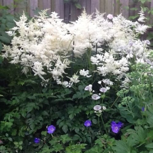 1 Root Astilbe Japonica 'Deuschland' Handsome White Shade Plant Flower Bulb Perennial