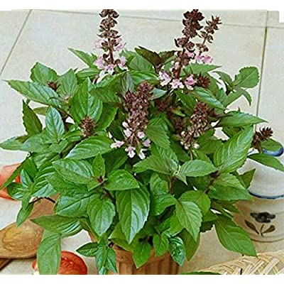 200+ Cinnamon Basil HERB Seeds-Non GMO-Open Pollinated-Organic. : Garden & Outdoor