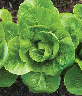 Organic Little Gem Lettuce 200 Seeds #7032 Item Upc#650348691783