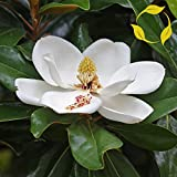 SOUTHERN MAGNOLIA Magnolia Grandiflora 5,10 SEEDS