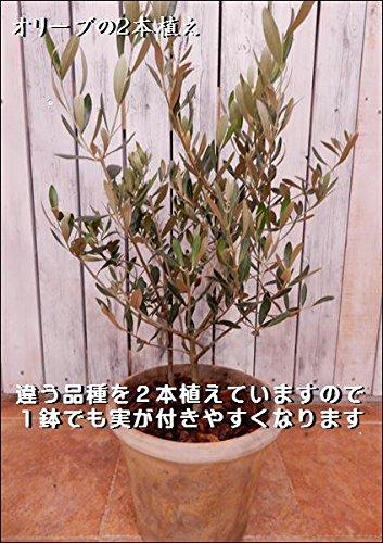 オリーブの木 品種違い2本寄せ植え Oli-me(オリーミー) アンティーク風テラコッタ陶器鉢植え仕上げ B074Z78W6H