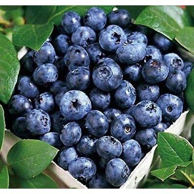 Blue Ray Blueberry Bush - Hardy Perenial - 1 Gallon Pot - 1 Plant from Grandiosy Farm : Garden & Outdoor