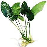 Anubias Barteri Large | Broad leaf Live Aquarium Plant For Freshwater Fish Tank by Greenpro