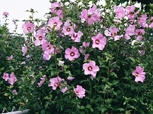 Aphrodite Hibiscus (Althea) Rose of Sharon - Live Plant - Quart Pot