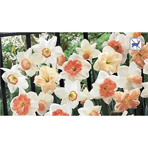 Cheap 'Pink Daffodil Blend' Collection 16 Bulbs - Deer Resistant - 12/14 cm Bulbs for sale