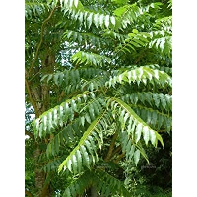 Toona sinensis CHINESE TOON TREE Seeds! EXOTIC! : Garden & Outdoor
