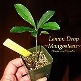 ~LEMON DROP MANGOSTEEN~ Garcinia intermedia YELLOW FRUIT Pot Starter Small Plant