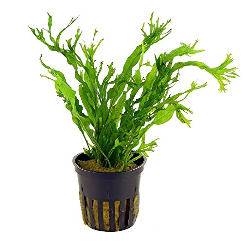 Pictures of Lace Java Fern Potted (Microsorum Windelov) Freshwater 1