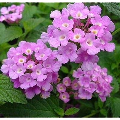 AchmadAnam - Live Plant - Trailing Lavender Lantana Plant in 2.5 inch Pot. E6 : Garden & Outdoor