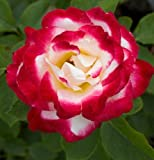 Solution Seeds Farm Heirloom Double Delight Hybrid Tea Rose Seeds Fantastic Frangrance Climbing 20 Seeds DIY Home Garden Bush Bonsai Yard Flower So Unique