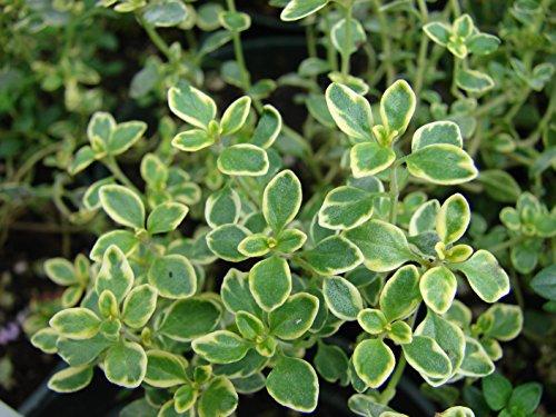 HEIRLOOM NON GMO Lemon Thyme 1000 seeds (Lemon Thyme)