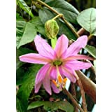 TROPICA - Banana Passion Fruit (Passiflora mollissima) - 15 Seeds - Climbing Plants