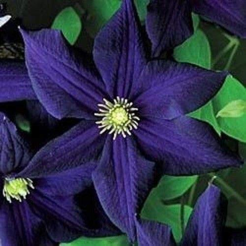 25 Dark Purple Clematis Seeds Bloom Climbing Perennial Garden Flower (Best Dark Purple Clematis)