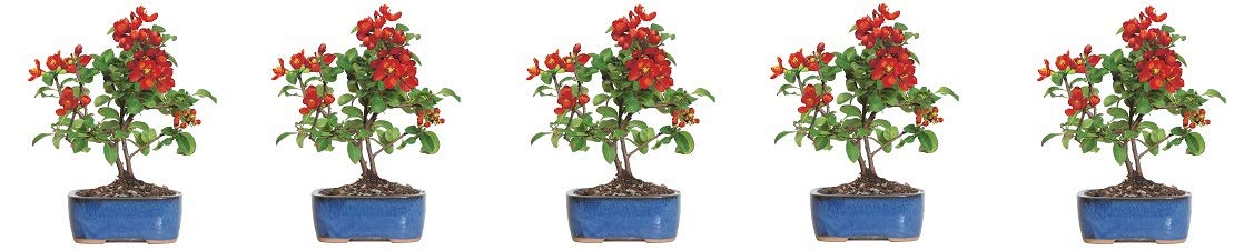 Brussel's Live Japanese Red Quince Outdoor Bonsai Tree - 3 Years Old; 10'' to 12'' Tall with Decorative Container (5-(Pack))