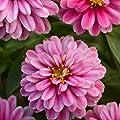 Outsidepride Zinnia Zahara Double Raspberry Ripple Flower Seeds