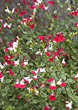 Sage (Red W/White Lip) Aka Salvia 'Hot Lips' Live Plant Fit 05 Gallon Pot