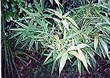 SASA KURILENSIS 'SHIMOFURI' - Bamboo - Starter Plant