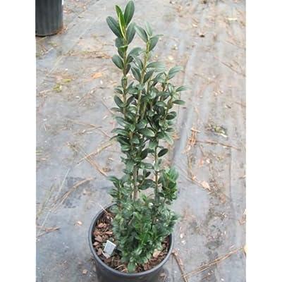 "(1 Gallon)""Sky Pencil"" Holly, Hardy to Zone 5, Elegant, Pillar Shaped, Small Leaf, Dark Green Holly. (Hydrangeas Shrub, Evergreens, Gardenia) : Garden & Outdoor"