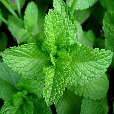 SD1616 Green Lemon Mint Fresh Garden Herb Seeds, Balm Mentha Citrata Plant Herb Seeds, New Live Seeds (30 Seed)