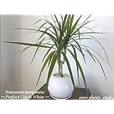 Dracaena Marginata / Perfect Circle White / 真実の木★ドラセナ・コンシンネ / パーフェクトサークル・ホワイト / インテリア観葉植物 / 鉢植え