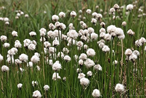 25 TAWNY COTTONGRASS Flower Seeds Eriophorum Virginicum Hare's Tail Cotton Grass