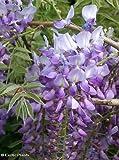 Tropica - Bonsai - Lluvia Azul (Wisteria sinensis) - 4 Semillas