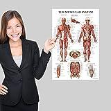 Muscular System Anatomical Poster - Laminated