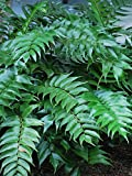 Perennial Farm Marketplace Cyrtomium falcatum 'Rochfordianum' ((Japanese Holly) Hardy Fern, Size-#1 Container, Glossy Dark Green Leaves