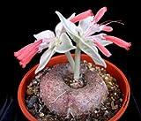 Sinningia leucotricha Rechsteineria rare cactus cacti caudex plant seed 50 SEEDS