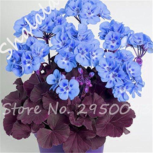 On Sale 100 Pcs Blue Geranium Seeds Pelargonium Seeds Room Flowers House Plants Bonsai Sky Blue Flower Seeds Gardening Buy Online In French Polynesia At Desertcart Productid 68057114
