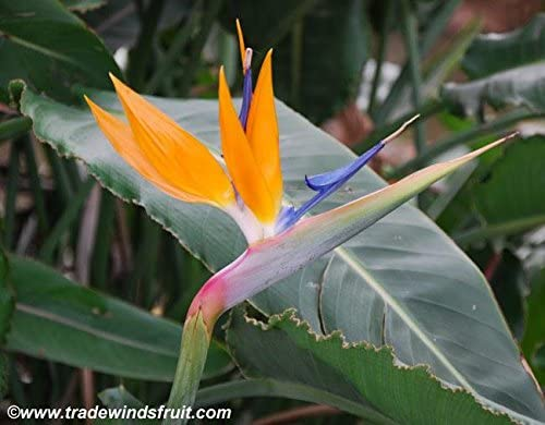 Bird of Paradise Seeds (Strelitzia reginae) 4+ Rare Seeds + FREE Bonus 6 Variety Seed